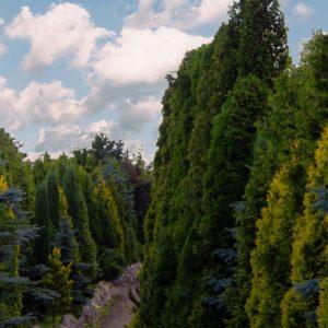 Jak osłonić swój ogród – ściana zielona z drzew iglastych – wysokie, duże drzewa, krzewy, tuje