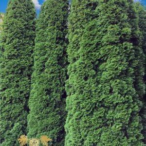 Jak osłonić swój ogród od wiatru – ściana zielona z drzew – wysokie, duże drzewa, krzewy, tuje