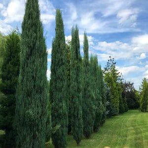 Jagodowy zagajnik w ogrodzie, twoje miejsce – ściana zielona – wysokie, duże drzewa, krzewy, tuje