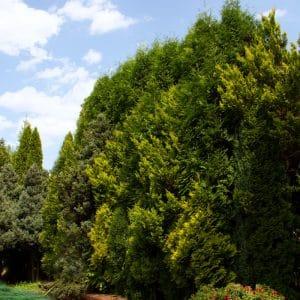 Jak osłonić swój ogród od sąsiadów – ściana zielona z drzew – wysokie, duże drzewa, krzewy, tuje
