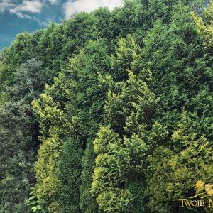 Jak się ukryć – jak ukryć ogród – ściana zielona z drzew – wysokie, duże drzewa, krzewy, tuje