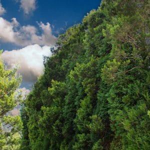 Jak osłonić taras od wiatru – ściana zielona z drzew – wysokie, duże drzewa, krzewy, tuje szmaragd