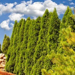 Ściana zielona chwyta wiatr, osłoń się, twoje ogrody – wysokie, duże drzewa krzewy, tuje szmaragd